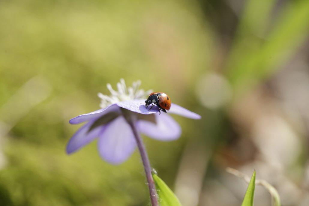 Marienkäfer auf Leberblümchen